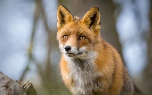Red Fox, AWD, Amsterdamse Waterleidingduinen